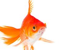 Curso de Desenho Realista de Carlos Damasceno - peixe pequeno